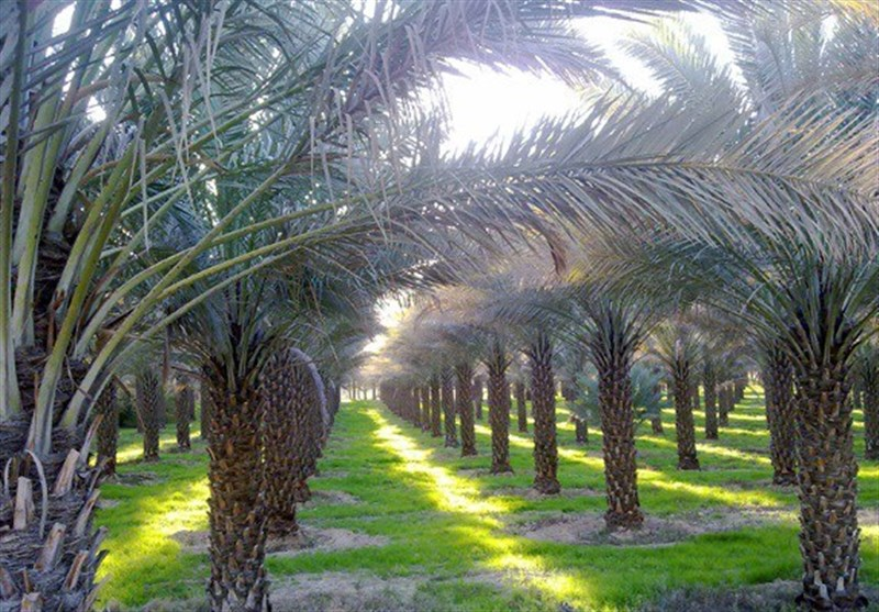 نخلستان بوشهر